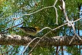 Hermit Warbler (immature) Rd to Pinery Campgrd Portal AZ 2019-08-14 10-12-35 (48595207542).jpg