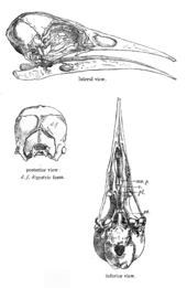 Skull of a bird drawn in outline, side view, back view and view from underneath
