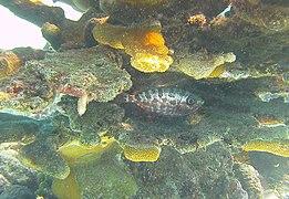 Heteropriacanthus cruentatus - glasseye - Bay of Pigs - Cuba.jpg