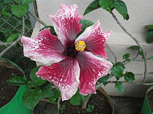 Hibiscus rosa sinensis wikivisually hibiscus rosa sinensis hibrida ccuart Image collections