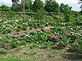 Higashimatsuyama Peony Garden 1.JPG