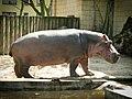 Hippopotamus at the Frankfurt Zoo.jpg