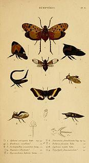 French entomologist