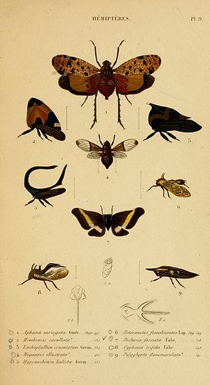 Jean Guillaume Audinet-Serville - Suites à Buffon Histoire Naturelle des Insectes.Hémiptères. Plate9