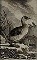 Histoire naturelle des oiseaux (1781) (14750952452).jpg