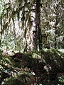 Hoh Rainforest - Olympic National Park - Washington State (9780011941).jpg