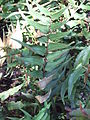 Hohenheim - Polystichum falcatum.jpg