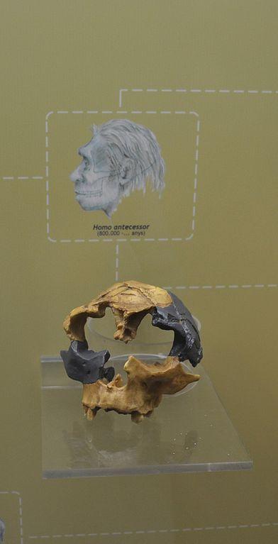 Reconstrucción de un Homo antecessor