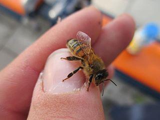 Veneno de abeja contra la alopecia o calvicie mejor que - Mejor veneno para ratones ...
