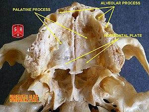 Horizontal plate of palatine bone - Image: Horizontal plate