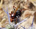 Hornet.. Vespa crabro - Flickr - gailhampshire.jpg