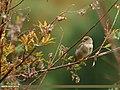 House Sparrow (Passer domesticus) (23084442002).jpg