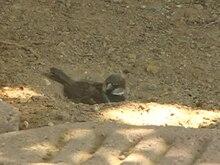 ファイル:House Sparrow dust bath.ogv