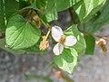 Houttuynia cordata in Jardin des 5 sens (1).jpg