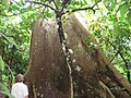 Huge tree in forest VoltaRegion.JPG