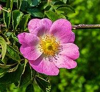 Hunds-Rose P1250095.jpg