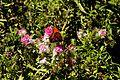 Huntington Gardens 22 - Hebe 'Great Orme' Scrophulariaceae.jpg