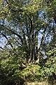 Hvozdecká lípa 2.jpg