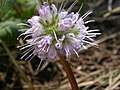 Hydrophyllum capitatum — Matt Lavin 002.jpg