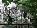 Hylobates moloch pair swinging in Howletts Wild Animal Park.jpg