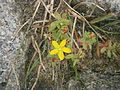 Hypericum humifusum 03.JPG