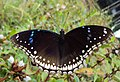 Hypolimnas bolina - Great Eggfly at Thillankeri 05.JPG