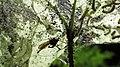 Ichneumon Wasp Attack (27674832542).jpg