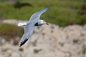Audouin's gull - In flight