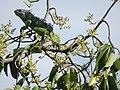 Iguana iguana STC.JPG