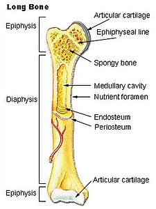 Illu long bone.jpg