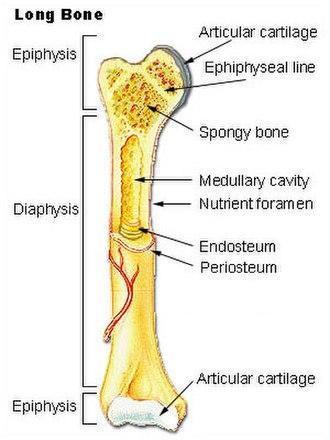 Endosteum - Image: Illu long bone