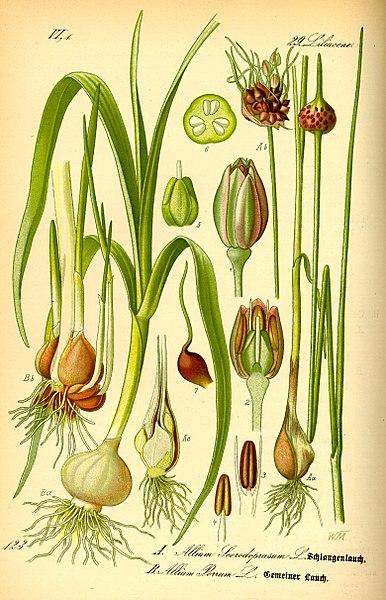 File:Illustration Allium scorodoprasum and Allium porrum0.jpg