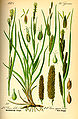 Illustration Carex riparia0.jpg