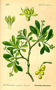 Illustration Loranthus europaeus0.jpg