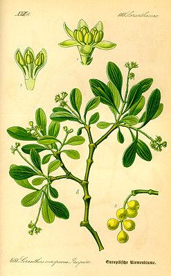 Eichenmistel (Loranthus europaeus)