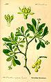 Illustration Loranthus europaeus0.jpg