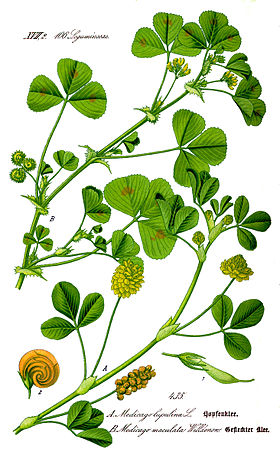 Illustration Medicago arabica1.jpg