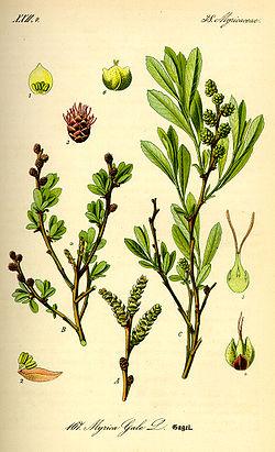 planche botanique de 1885