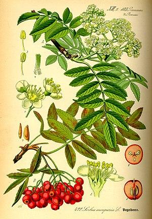 Ботаническая иллюстрация из книги О.В.Томе Flora von Deutschland, Österreich und der Schweiz, 1885.