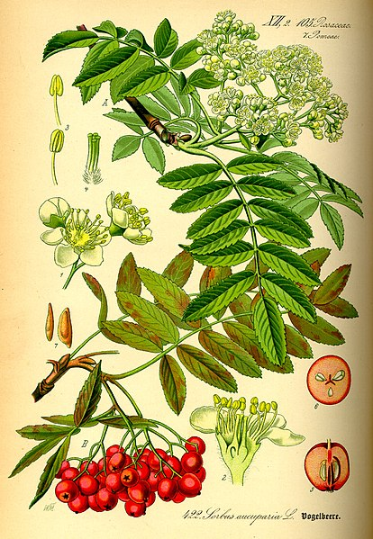 File:Illustration Sorbus aucuparia0.jpg