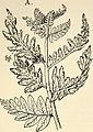 """Image from page 373 of """"The structure and development of mosses and ferns (Archegoniatae)"""" (1918) (14782039131).jpg"""