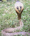 Indian Common Spectacle Cobra (131144091).jpeg