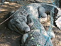 Indian Mugger Crocodiles fighting in Vandaloor Zoo.JPG