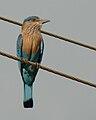 Indian Roller (Coracias benghalensis).jpg