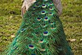 Indian peafowl's tail.jpg