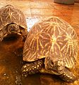 Indian star tortoises (Geochelone elegans) at IGZoo park Vizag.jpg