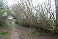 Interestingly shaped coppiced trees by the bridleway - geograph.org.uk - 1253666.jpg