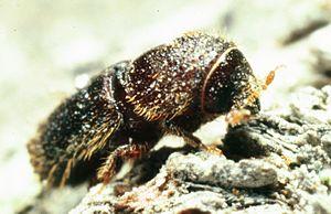 Ips (beetle) - Ips latidens