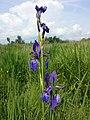 Iris sibirica sl7.jpg