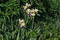 Iris versicolor Anthese.jpg